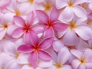 pink-flowers